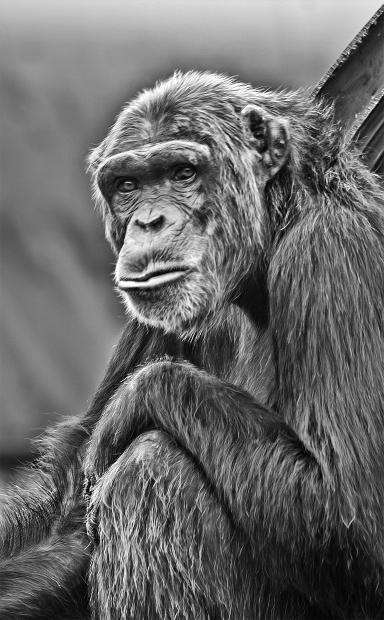 discontent-monkey