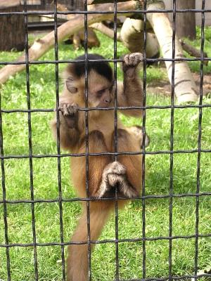 captive-monkey