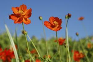 Cosmos_flower